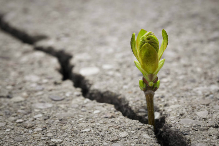 Small green flower bud breaking through a crack in cement