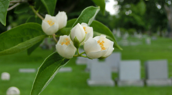 Closeup of the white flowers on a tree with blurry images of a graveyard in the distance behind it