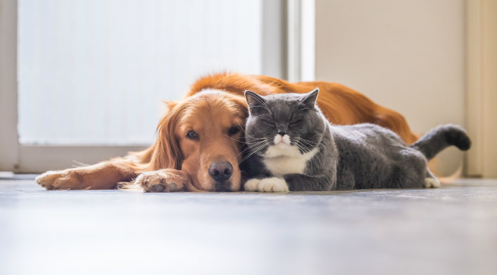 Golden retriever and gray and white cat lying next to each other on the floor