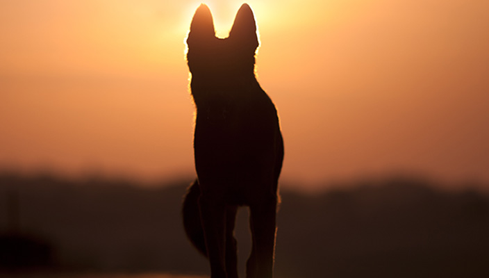 Dog standing in front of a sunset