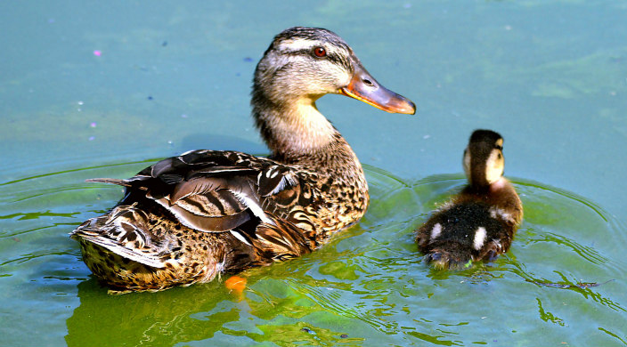 mother and baby duck swimming in water
