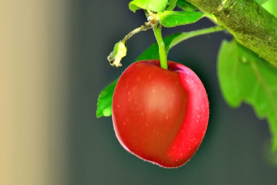 Closeup of a red apple hanging from a tree