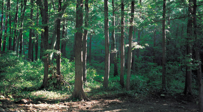 Forest in summer; sun streaming in on tall, full leaf trees